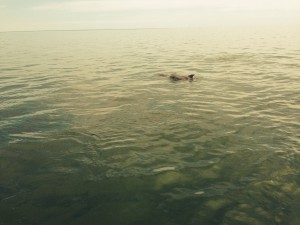 Porpoises!  Had many near the boat on Friday and Saturday....pretty cool!