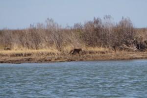 Island Fox!  Beautiful!