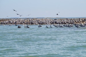 Pelicans love this place!