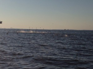 Big breaking Blues and stripers spray the air!